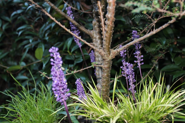 Housed in the planter with my Dwarf Elm is Liriope 'Royal purple' and a dwarf Acorus.