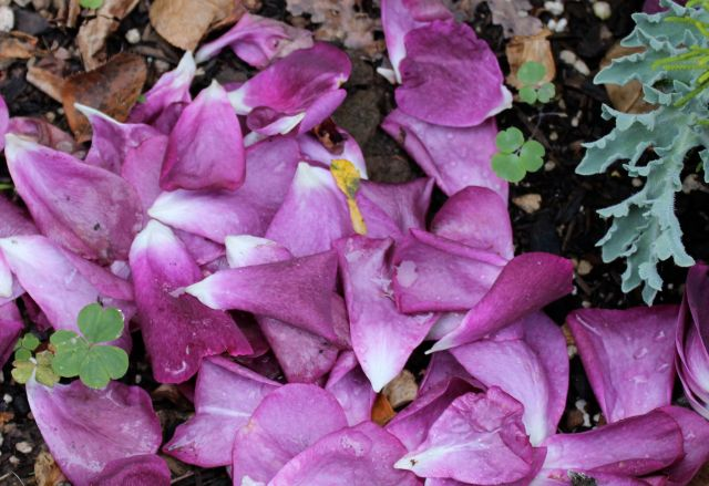 Here, a velvety carpet of rose petals sets off one of its shaped leaves.
