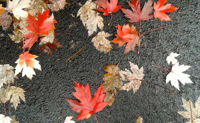 Red maple leaves on asphalt