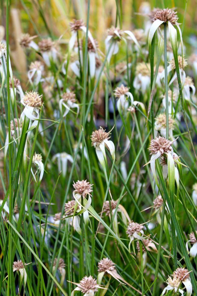 Star grass - Dichromena colorata - is wonderful!