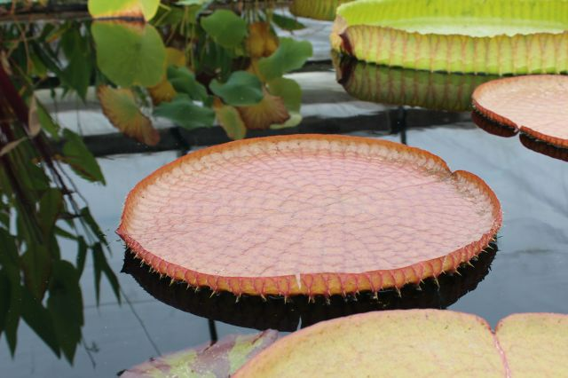 This was the first time I'd ever seen Lotus leaves up close. Had no idea they are spiky!