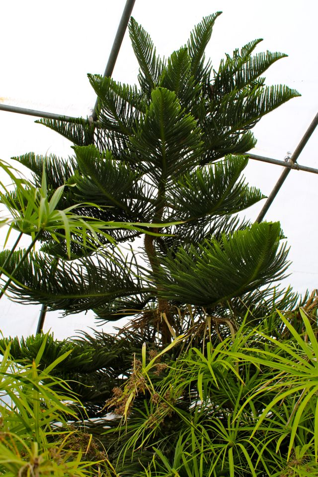 A large Norfolk Island Pine was the background equivalent to the Sumac in the first greenhouse. Such a fabulous tree!