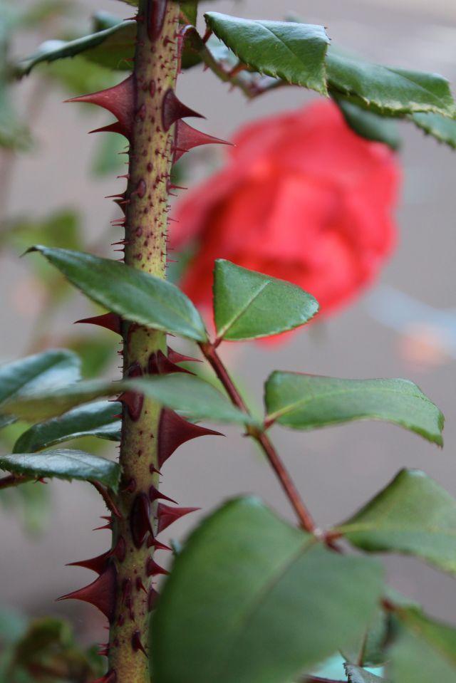 Pretty nice thorns too.