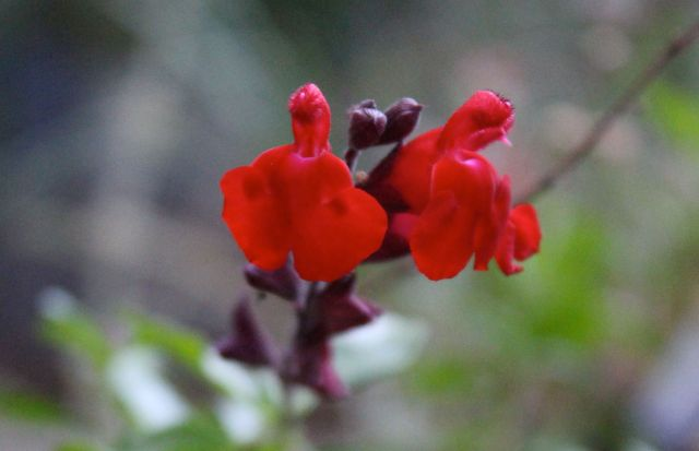...as does this red Salvia.