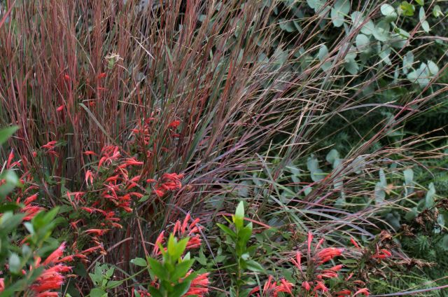 Another Agastache - I think this might be 'Orange nectar', and Schizachyrium scoparium 'The Blues'.