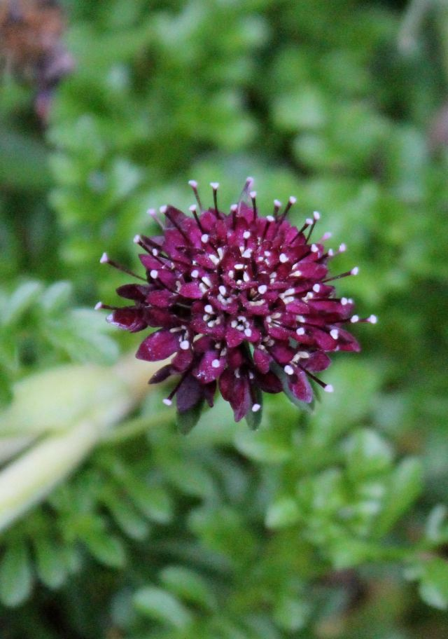 A shorter version than the one I really wanted. Should have read the tag, but I was just so excited to find it - a black Scabiosa.