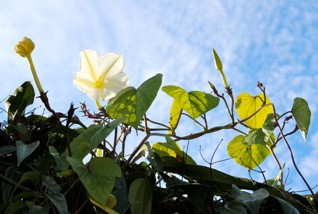 The large leaves of the Moonflower stand out against the blue sky.