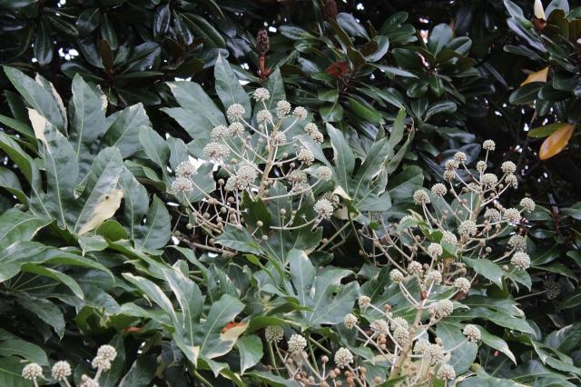 Variegated Fatsia japonica