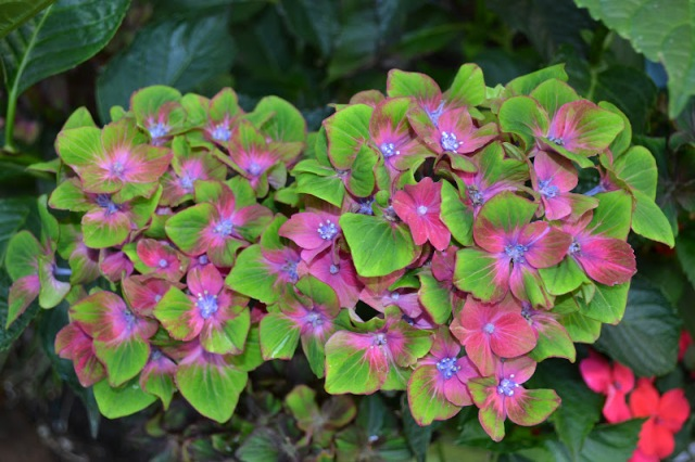 This is what the blooms I so instantly snubbed, look like. Although I generally do have a thing for green flowers, I'm not a huge fan of multi-colored ones - I felt this one was a bit too much. Also, in my defense - the flowers I saw weren't this nice. This capture is by Peter, the Outlaw Gardener - from his own garden - who was kind enough to let me use his photo. Truly - they look a lot better here, than where I saw them.