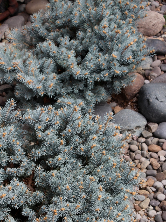 Picea pungens globosa and river rocks