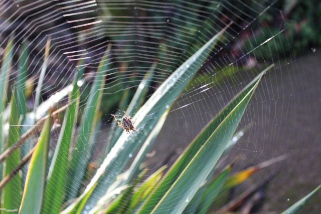 Yucca and spider web