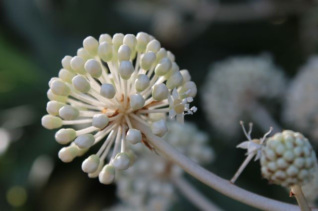 Fatsia japonica bud