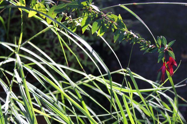 Fuchsia and grass