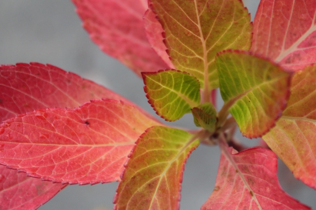 Even the newest leaves are adorned with red edges.