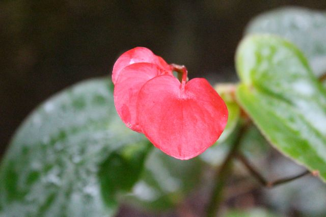 Such cute little heart-shaped Begonia flowers.
