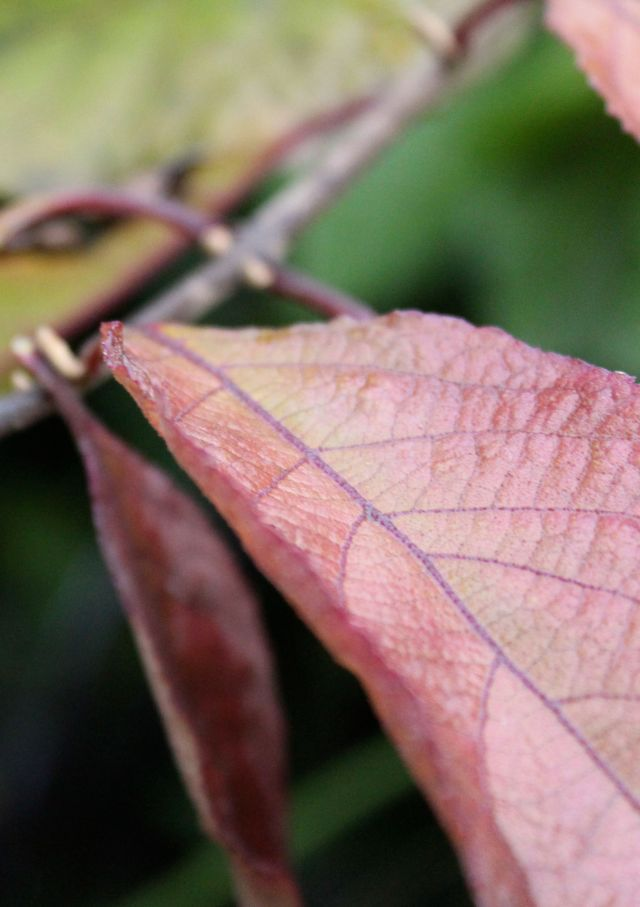 I never before realized that the veins in the Callicarpa leaves is purple - just like the berries!