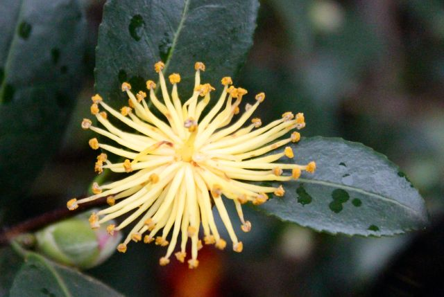 Camellia 'Yuletide' stamens