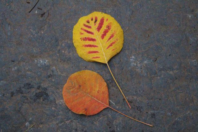 Cotinus leaves