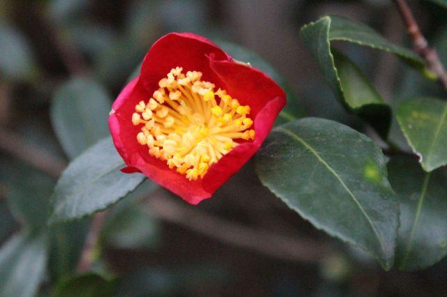 Camellia 'Yuletide' flower