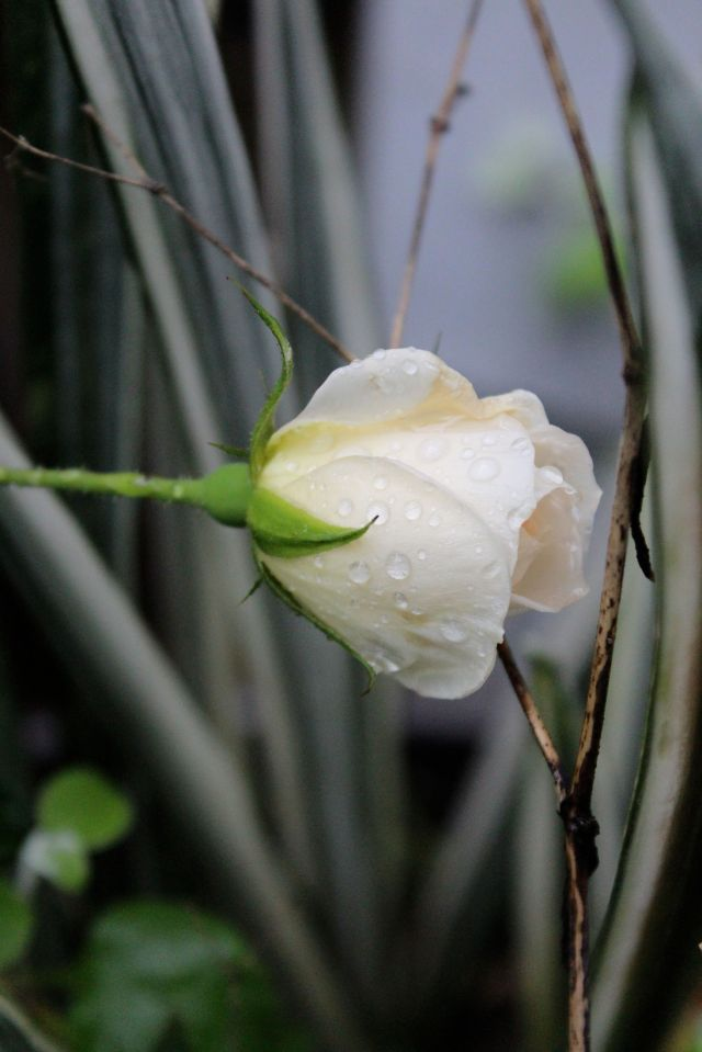 Starla rose