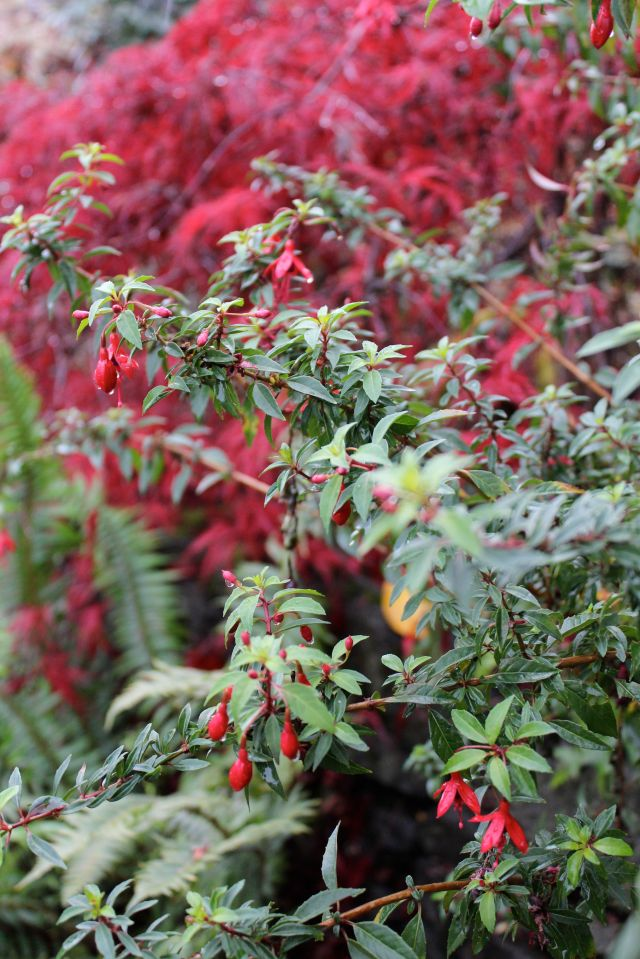 The red Fuchsia flowers matched by the 'Red Dragon' japanese maple.