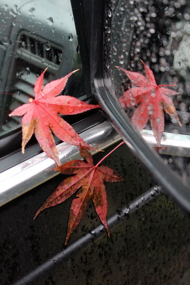 The leaves of a Bloodgood maple stuck to my little old truck. So very decorative!