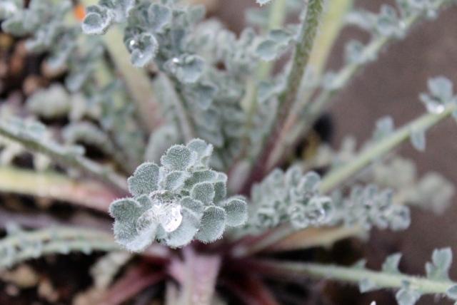 Rain on Horned poppy