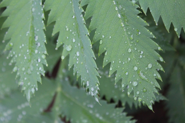 Melianthus and rain drops