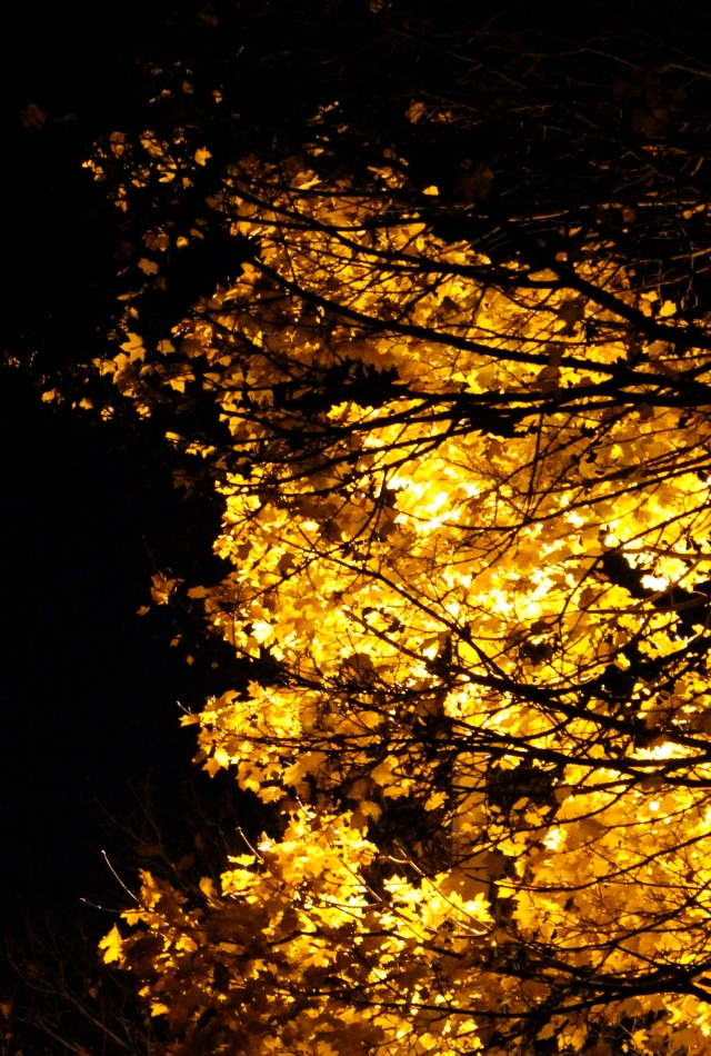Maple lit by street light