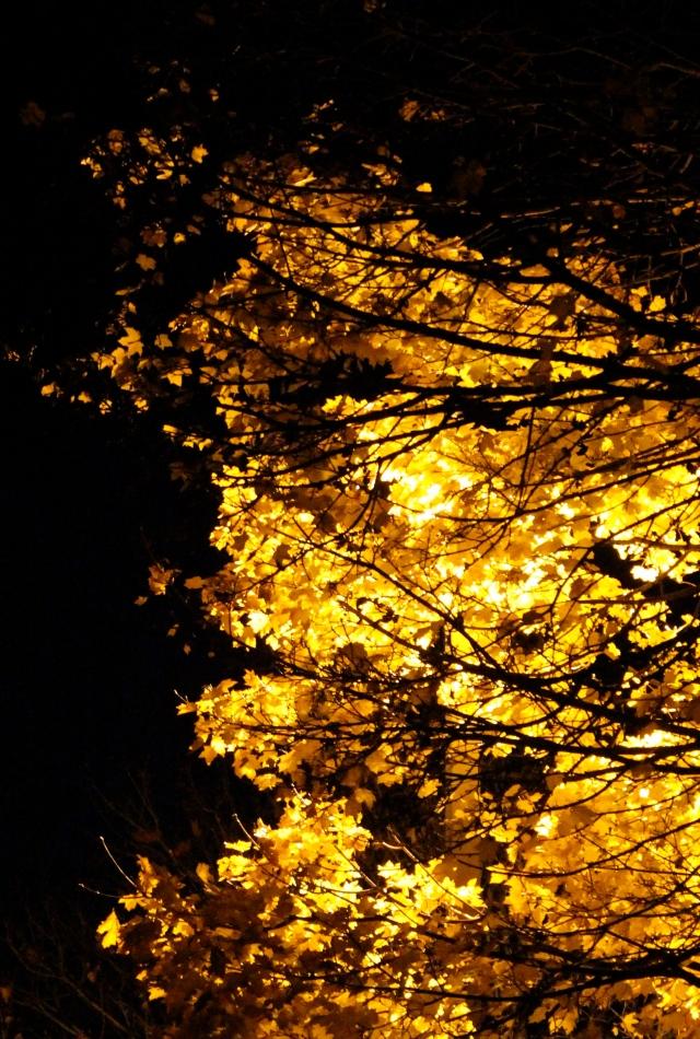 Maple lit by street light