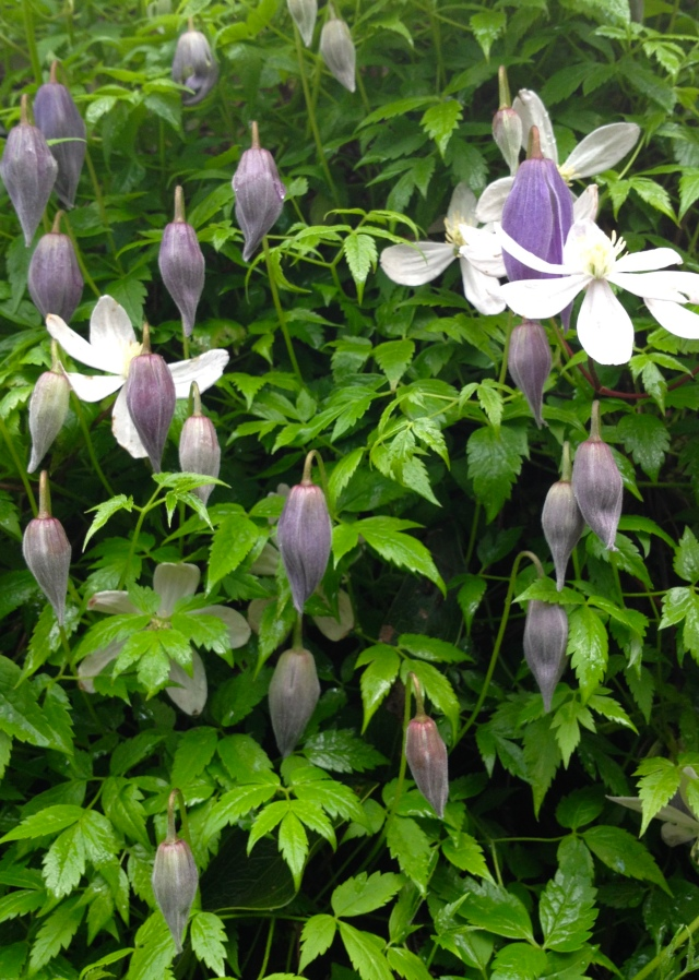 Clematis 'Blue Dancer'