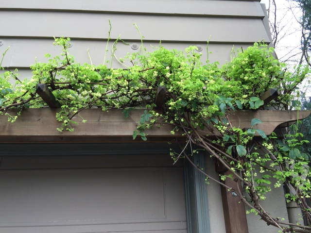 Finally, as seen growing above a client's garage - an Akebia, or Chocolate vine.