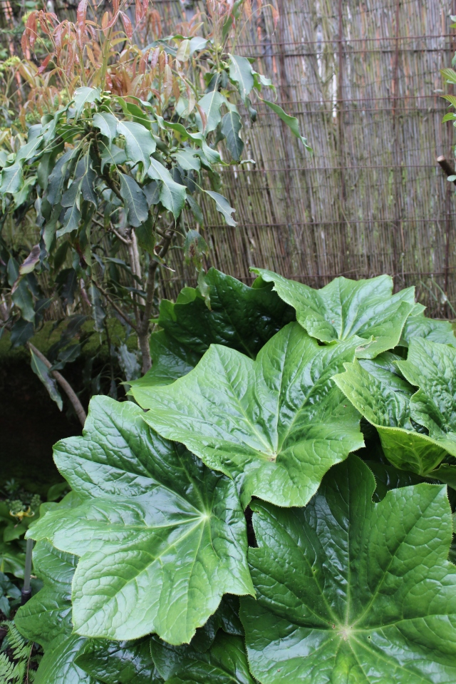 My Podophyllum pleianthum going nuts in front of what I think is a Metapanax davidii.