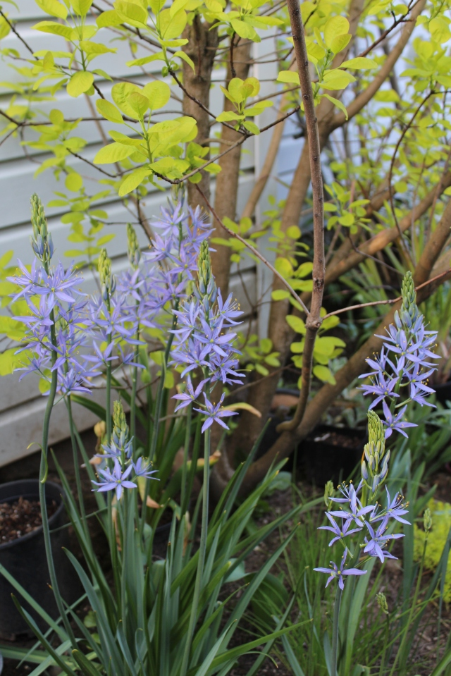 ... these - Camas lilies rescued from last year - here in front of Cotinus 'Golden Spirit'.
