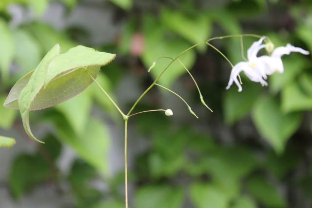 Finally - the photo is a blur, but the remaining flower doesn't even look half as fabulous as it did when I first saw it, so no big deal. Epimedium x 'Arctic Wings was Dancing Oak's feature plant at last year's Plant Nerd Night. I was crowd shy, and stayed out of the stampede. When I finally got to their table, they were all gone, but the one on display was magnificent! In terms of wings, we're talking Albatross here! I hadn't seen it since, but figured I'd check if they had one here at Portlandia. They had a single, over- bloomed start left, and I grabbed it. So now I can strike that off my wish list. Gina - if you read this, and I manage to make it expand, I will share with you!