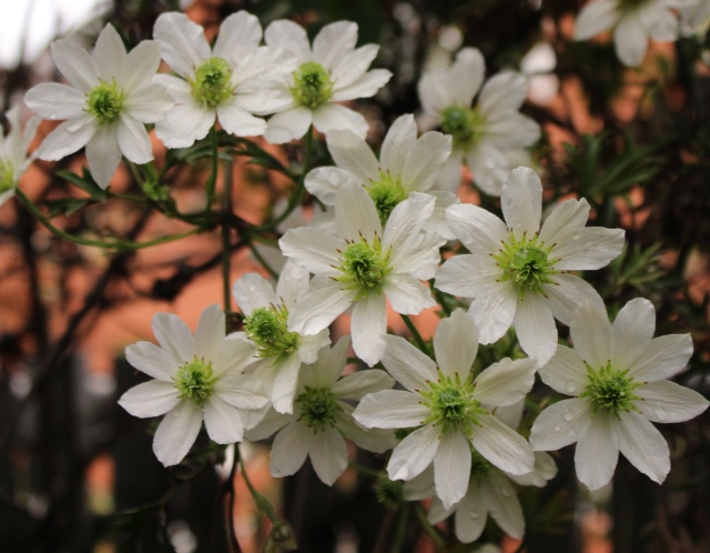 One of my favorite Clematis - 'Early Sensation'. Small white flowers with green centers. And, evergreen, ferny foliage to boot!