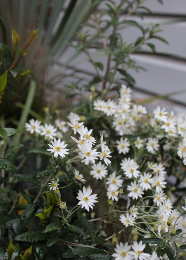 Some kind of Olearia - or Daisy bush in full bloom.