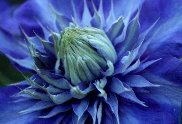 Clematis - blue double