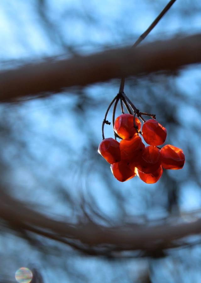 But, I don't have to wait long for the berries. After the autumn winds blow the leaves away, they show up even better - to my and the birds delight.