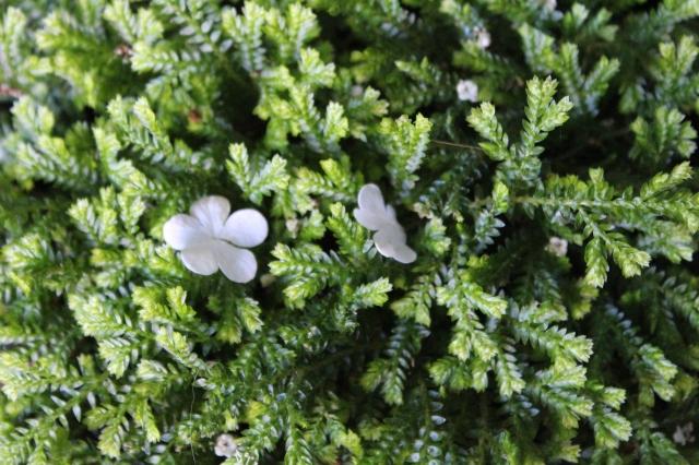 ... on the spike moss...