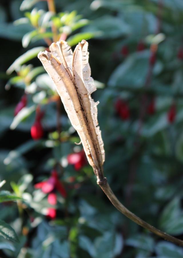 Lily formosanum seed head