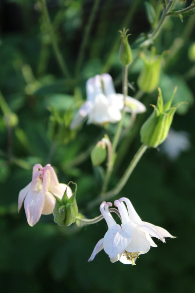This is one of the original Columbines I bought - a white Japanese one.
