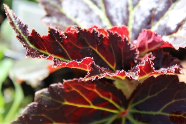 Had to get one of these - just look at those leaves: Begonia Cocoa-series 'Enchanted Sunrise'
