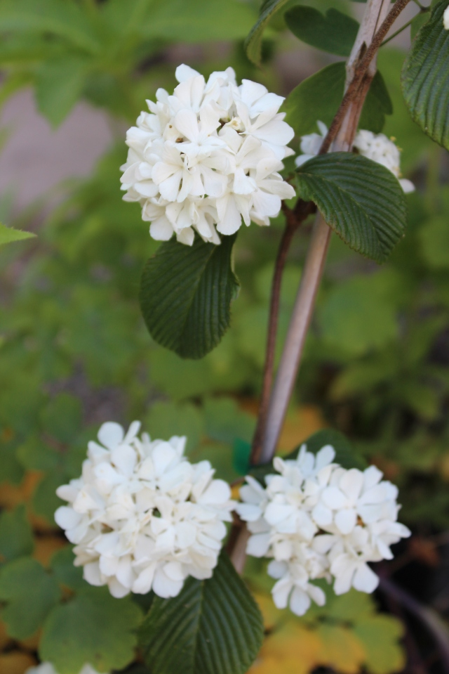 If there is only one, you can be sure it is being propagated - in which case it is not yet available for sale. We all drooled over this Viburnum. Maybe next year...?