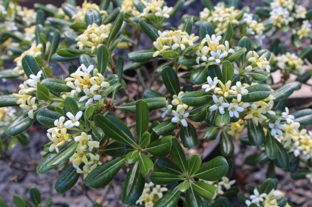 The air was heavy with the fabulous flowering scent of Pittosporum 'Tall and tough'. Yum!
