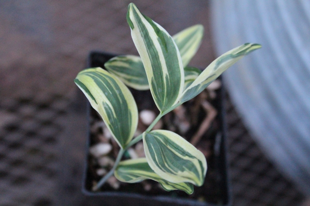 This lovely NOID variegated Polygonatum with more pronounced variegation than the one I have previously seen.