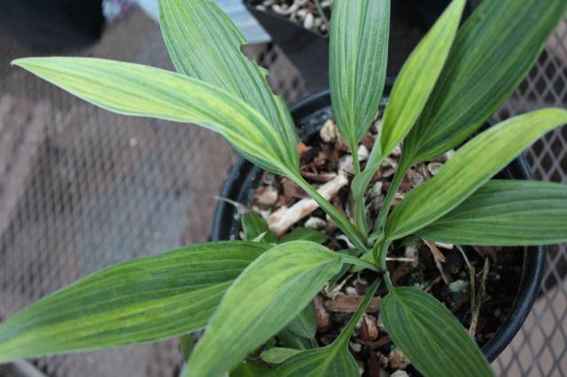 Lovely striated leaves of Hosta 'Hyuga Urajiro' got me!