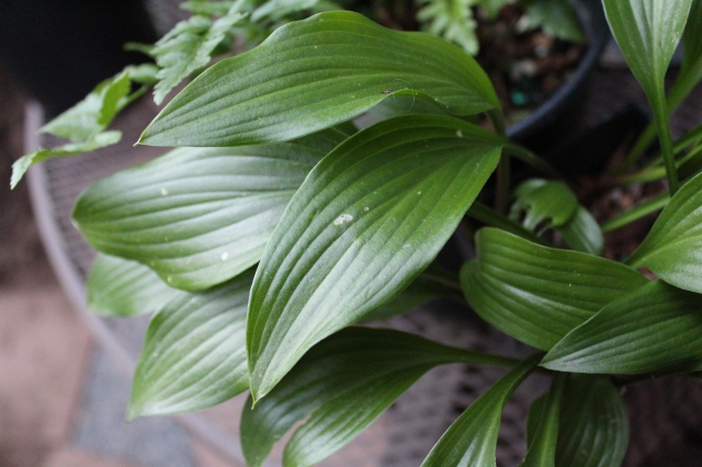 A lovely low-growing Hosta that I think I can tuck in somewhere. Don't remember the name...
