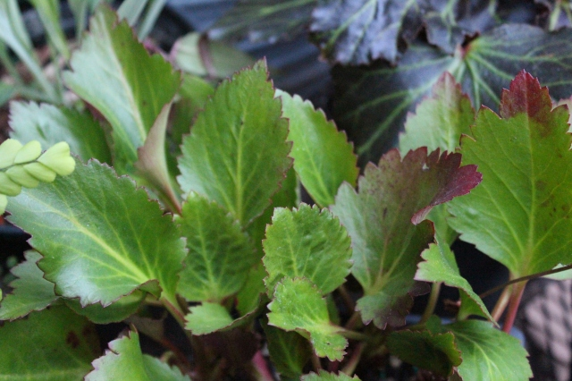 I have a Mukdenia - but this is a hybrid between it and Bergenia - thus Mukgenia. I think I need to put it in a somewhat bright spot to encourage the red development on the foliage. Lovely plant!