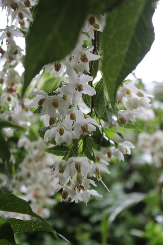 Thousands of fragrant, white flowers weigh down the branches of my Japanese Snowbell in May.